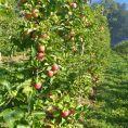 Apfelernte01