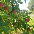 Apfelernte05