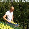 Apfelernte_2