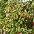 Apfelernte_3