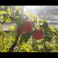 Apfelernte2021_01